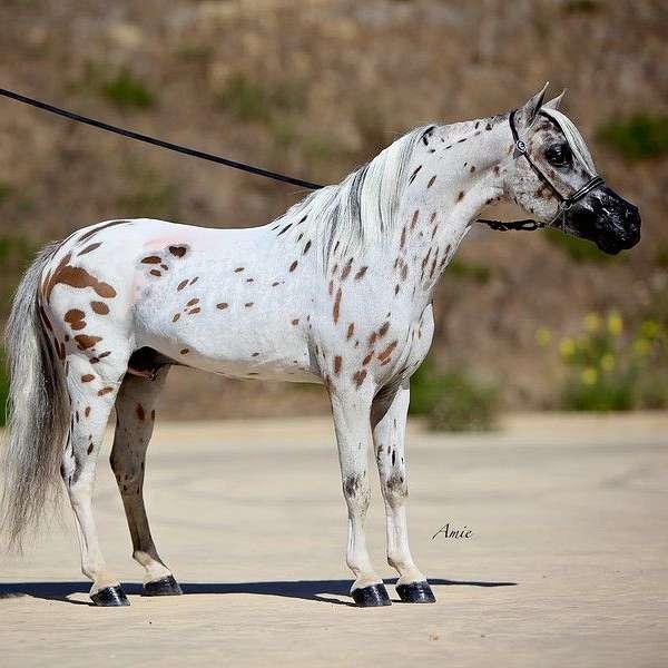 Lost Spoke Miniature Horse Ranch