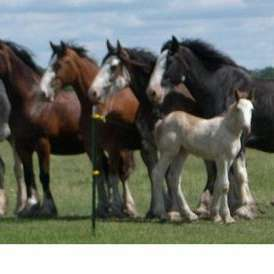 Blue Moon Clydesdales