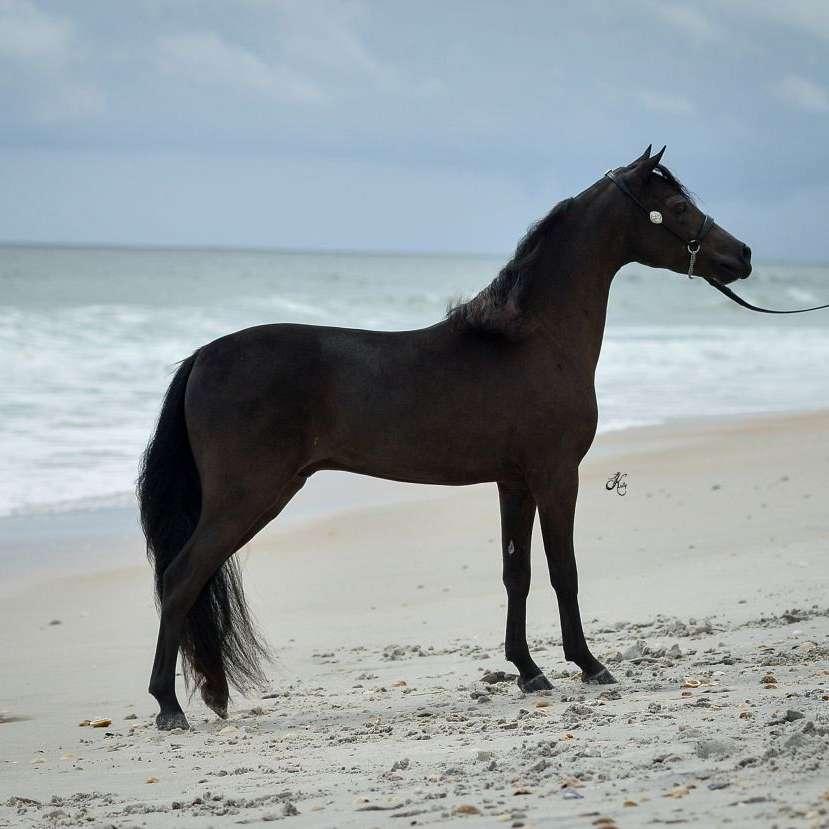 Starshine Miniature Horses