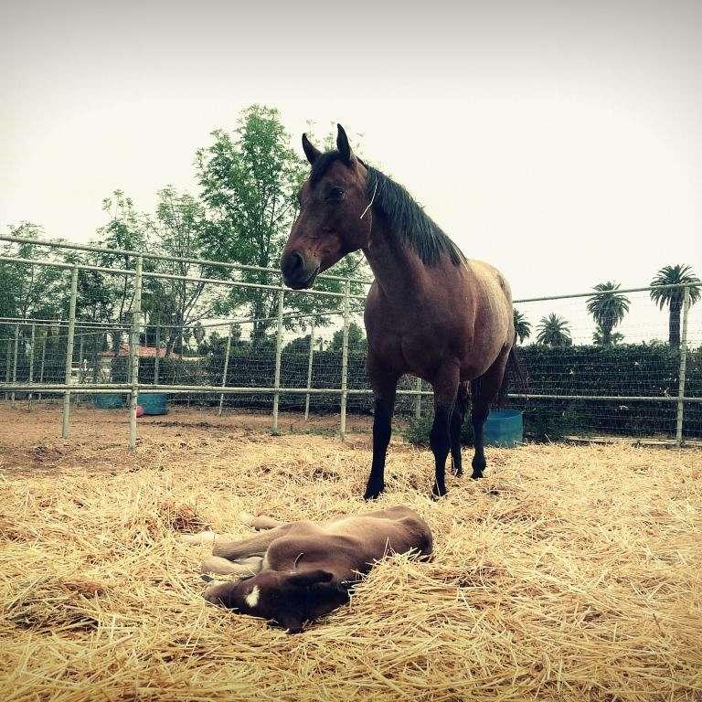 Sigma Elite Sport Horses