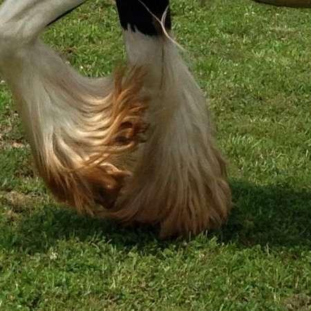 Cabin Creek Gypsy Horses