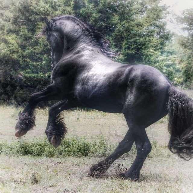 Cashmere Friesian Sport Horses