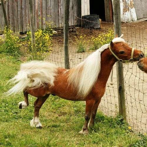 Barefoot Miniature Horses