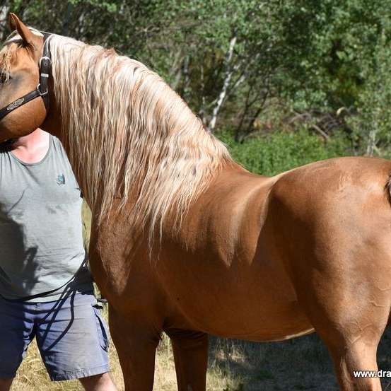 Dragoon Morgans