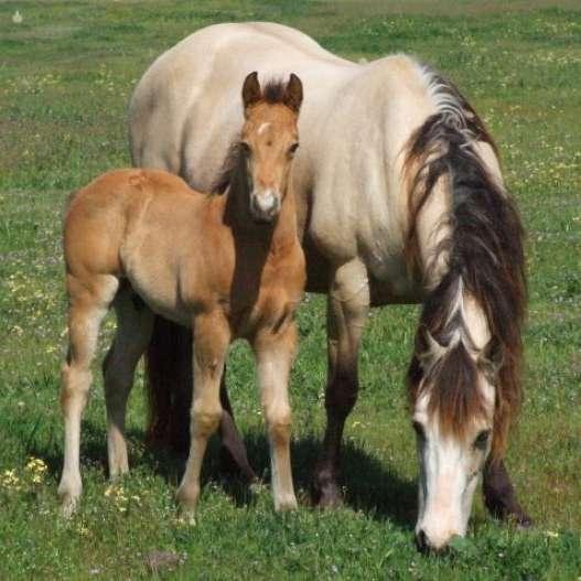 kelleyranchquarterhorses