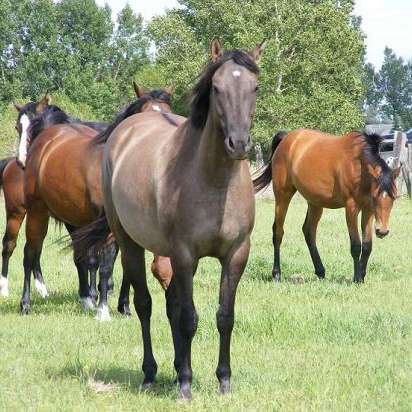 DA performance Horses