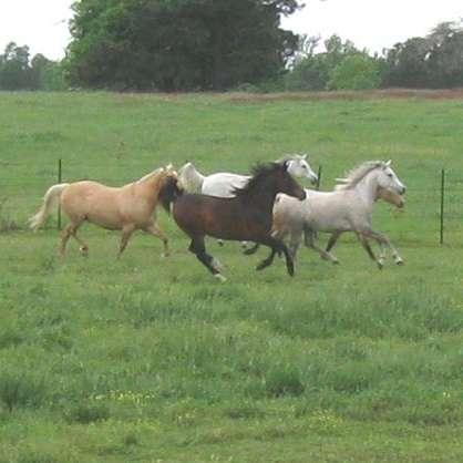Zohar Half Arabians and Arabians