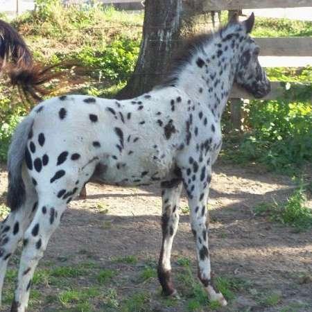 Hawkeye Ranch Appaloosas