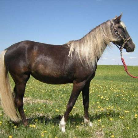 Gaited Meadows Ranch - Rocky Mountain Horses
