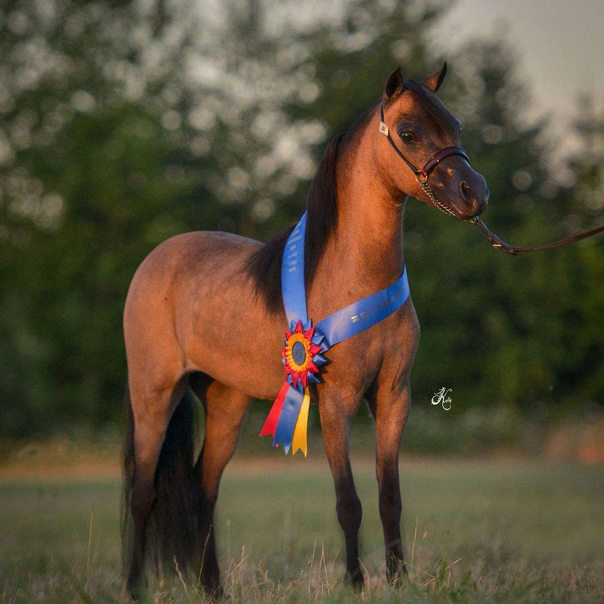 Black Mountain Miniature Horses