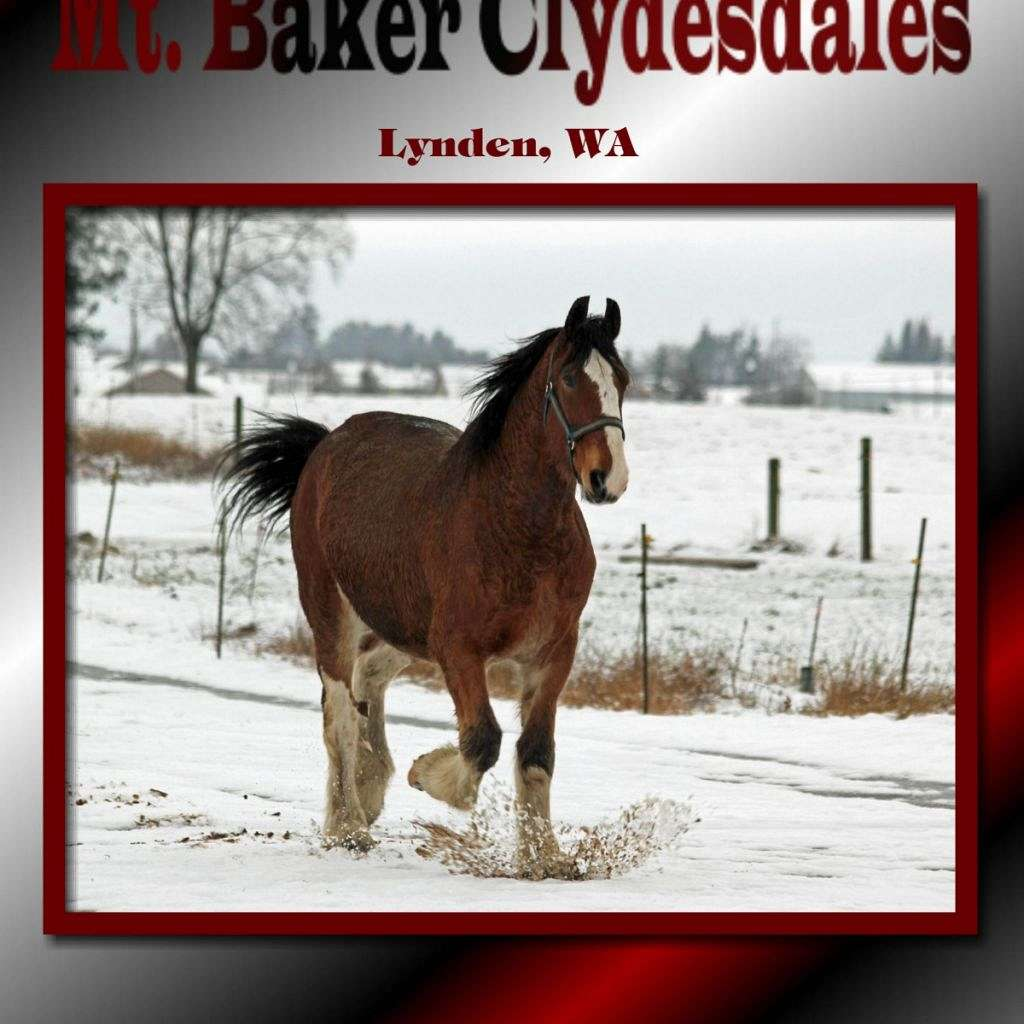 Mt. Baker Clydesdales