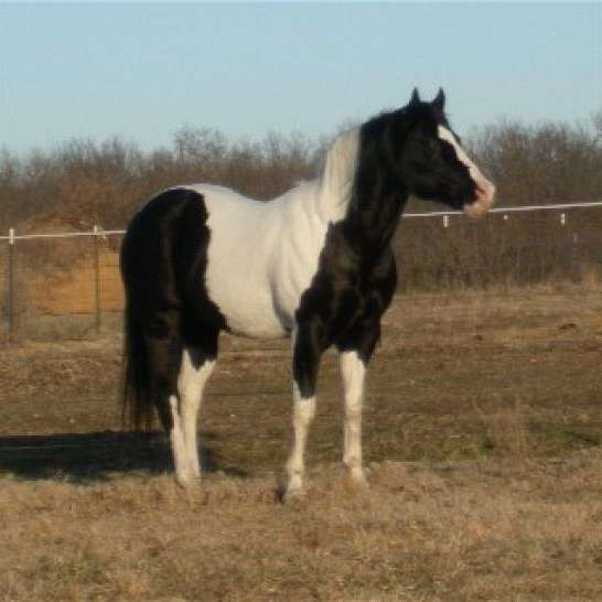 Quality Black and White Paint horses