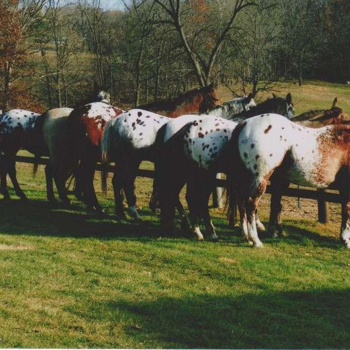 Sunset Ranch Appaloosas