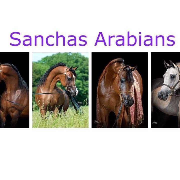 Sanchas Arabians