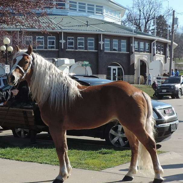 Peterson's Ponies  Registered Haflingers