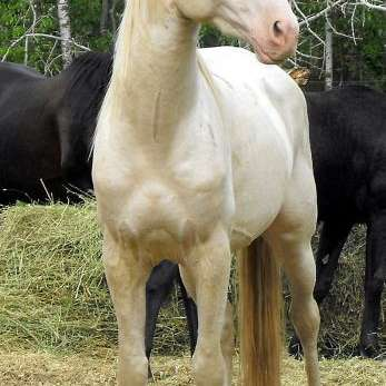 Swan Creek Andalusians Lusitanos Friesians Curly H
