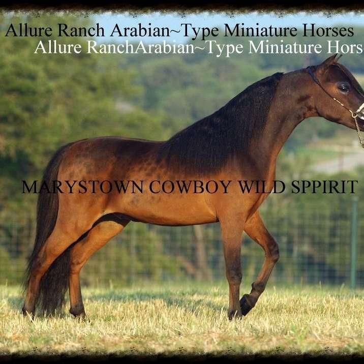 Allure Ranch Arabian Type Miniature Horses