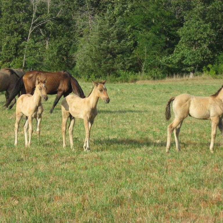 KBC Quarter Horses