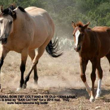 Double PD Quarter Horses