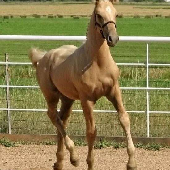 GoldenEdge Sporthorses