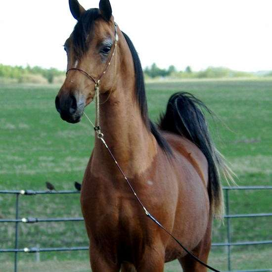 Royden Arabians