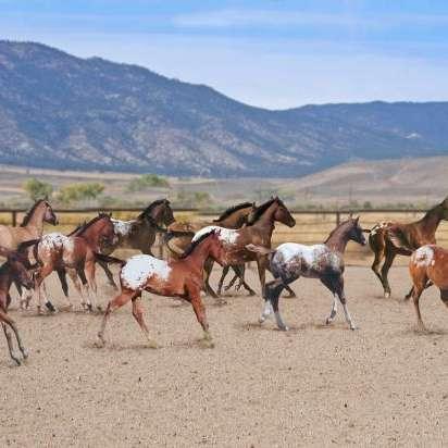 Patti Show Horses