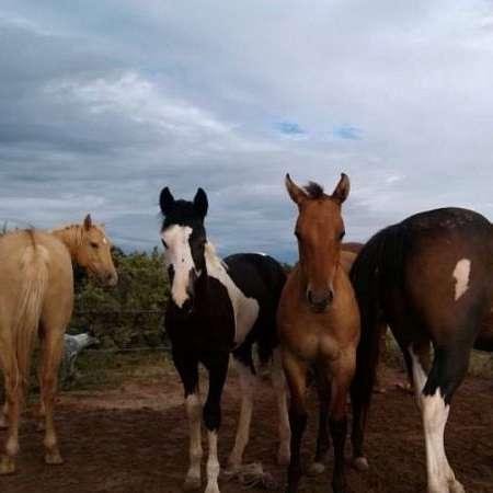 sidehill paints n quarter horses