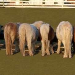mistletoe farm miniature horses