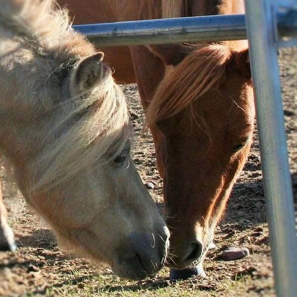 HRH Miniature Horses