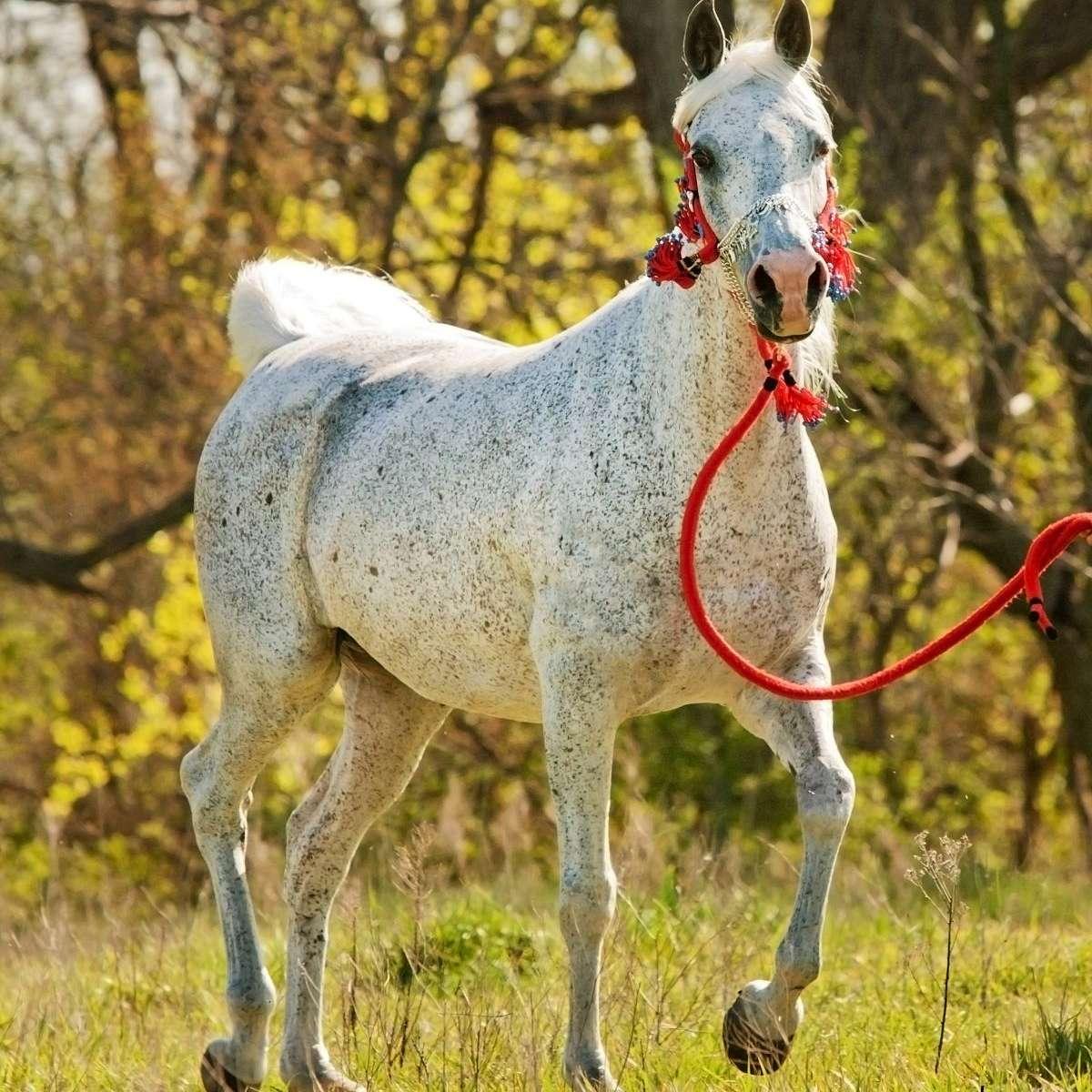 Al Badia Arabian Stud