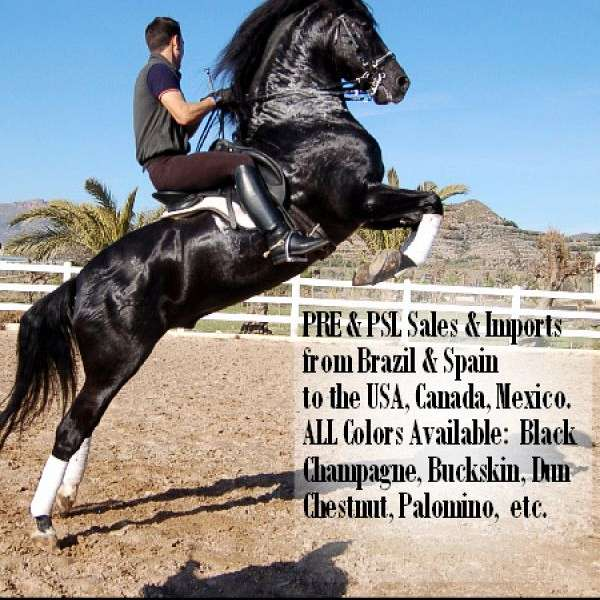 PRE Imports - Imported Andalusians Horses for sale
