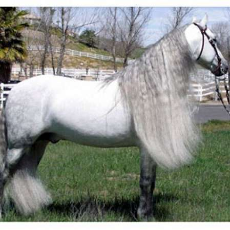 Silver Tree Andalusians