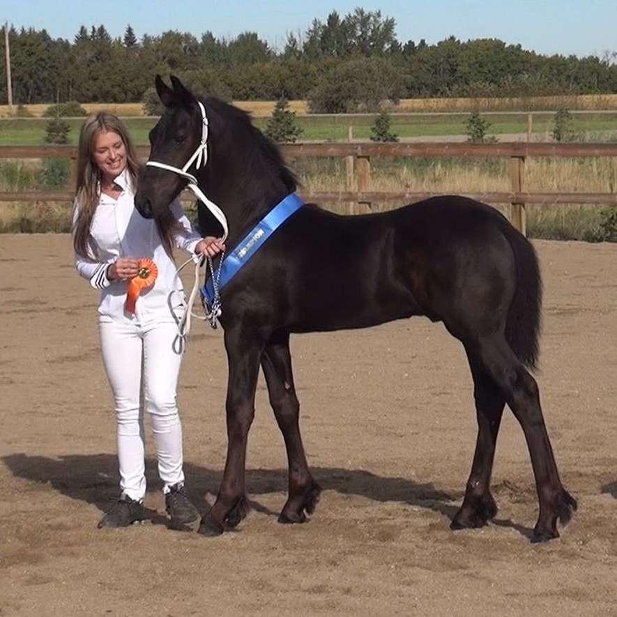 Black Pearl Classic Equines