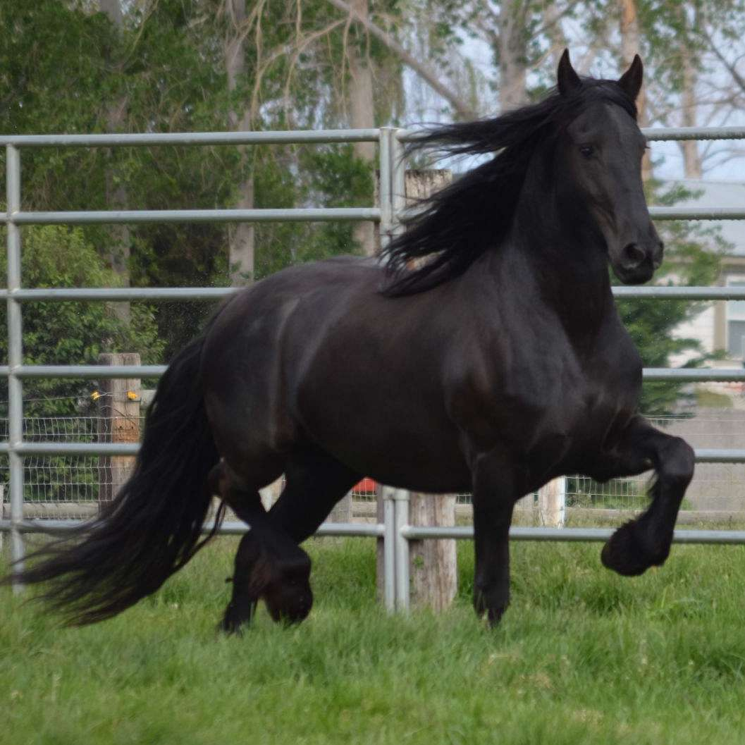Badger Canyon Friesians and Barock Pintos