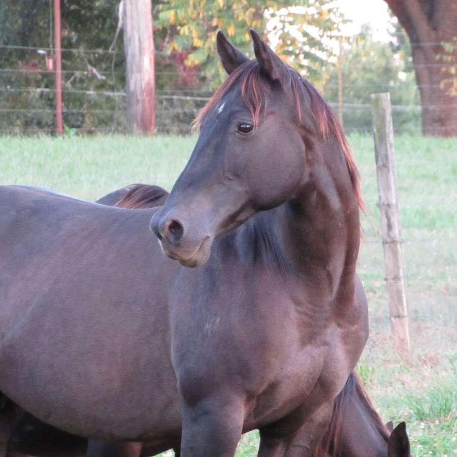 Royal C Foundation Quarter Horses