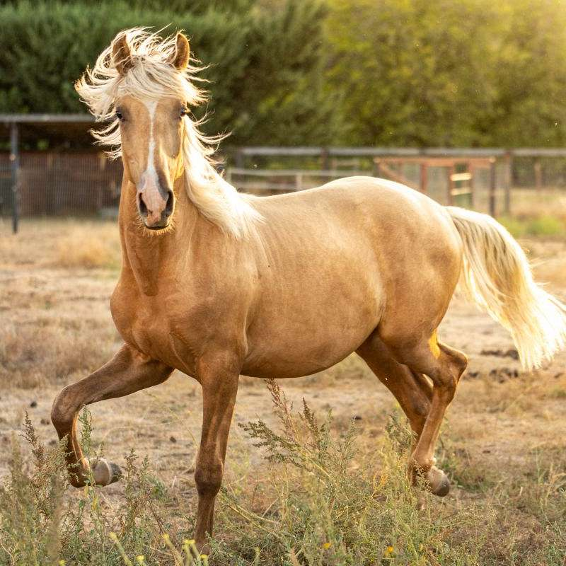 Topline Andalusians And Lusitanos