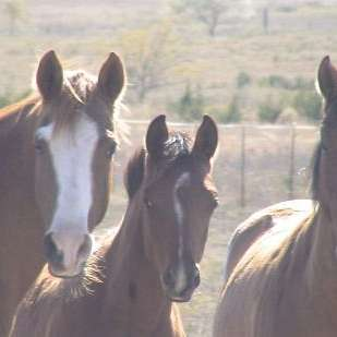 Carter Ranch Arabians