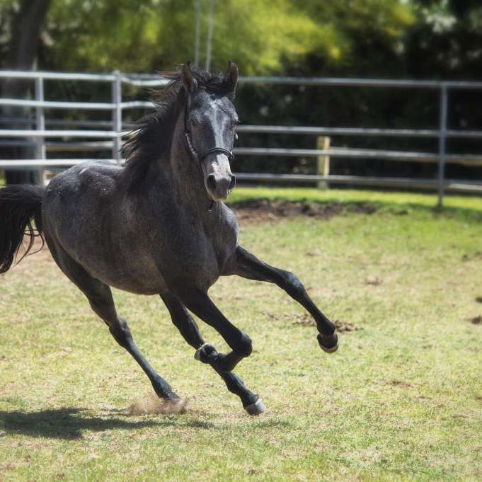Summerwind Marchadors and Future Foal Breeders