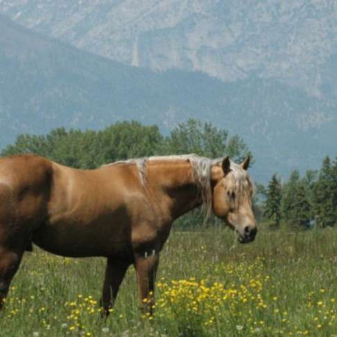 Skalkaho Gaited Ranch Horses