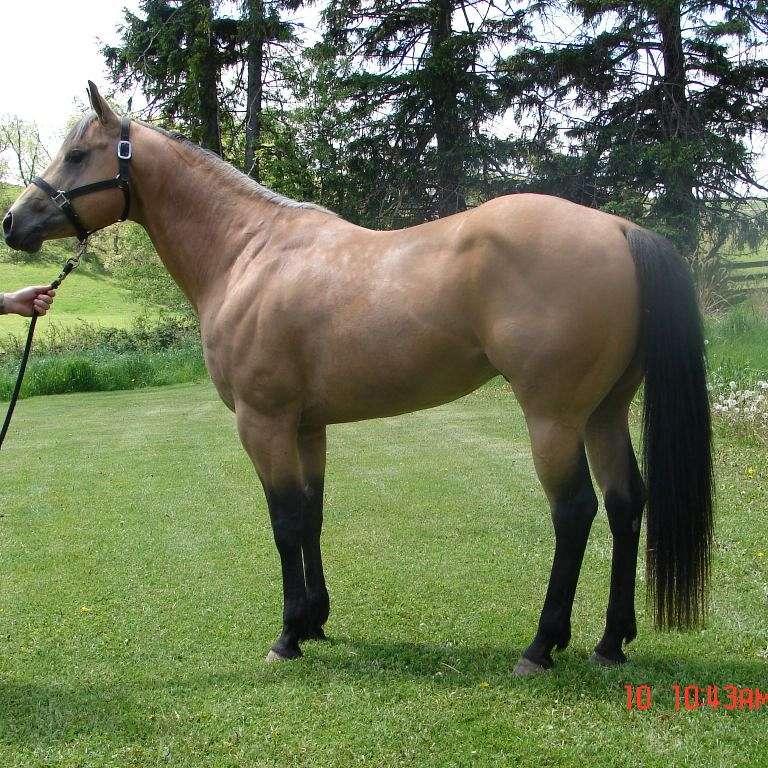 MF Quarter Horses