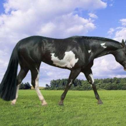 Platinum Paint Horses