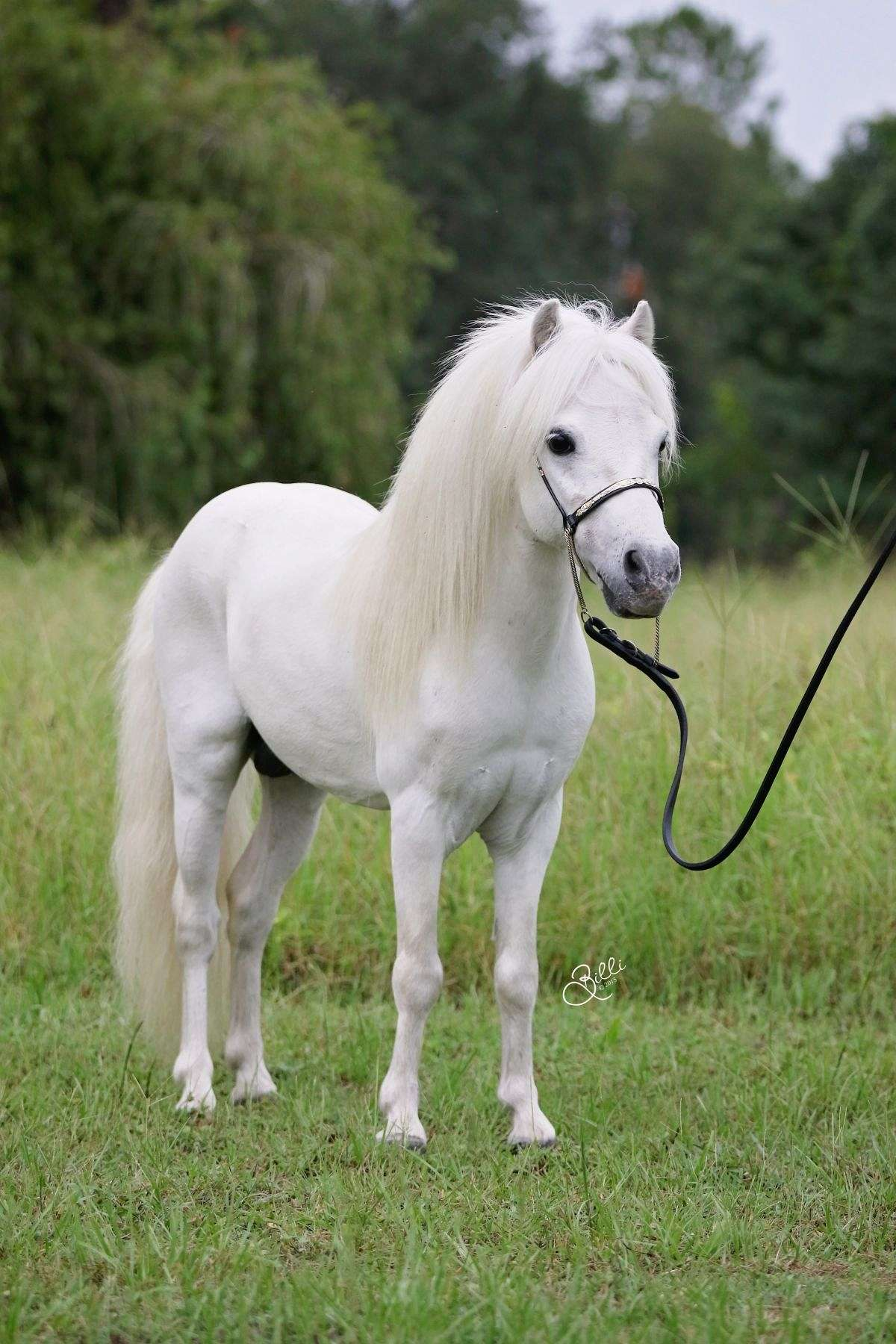 Arabiana Miniature Horses on EquineNow