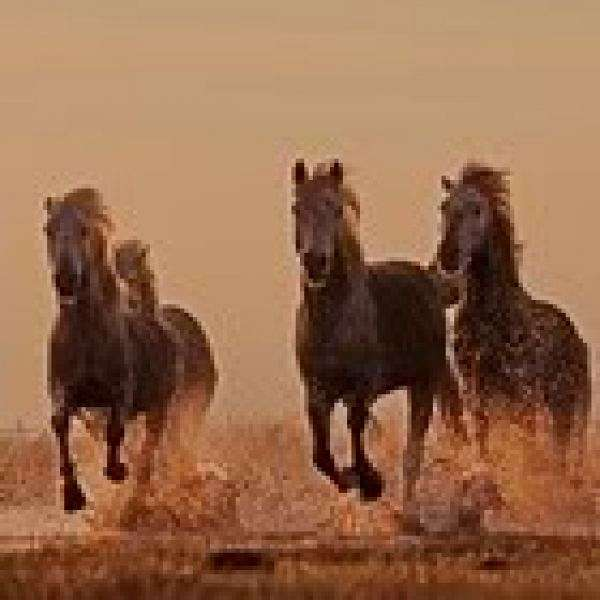 Wild horses running through water