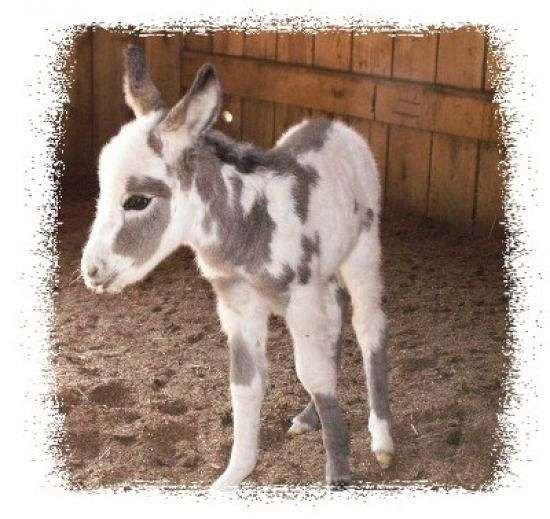 Itty Bitty Acres Miniature Donkeys on EquineNow