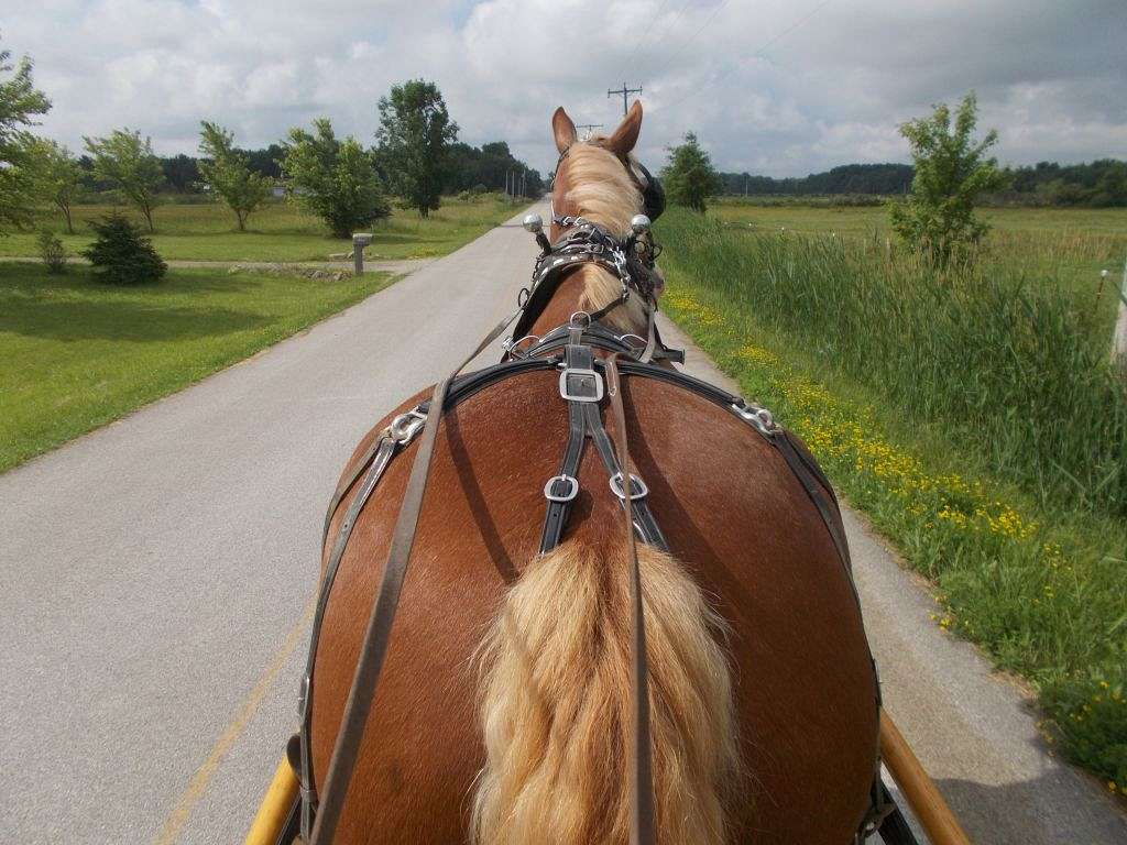 Driving Horses For Sale >> Stony Brook Belgians and Draft Horse Training on EquineNow