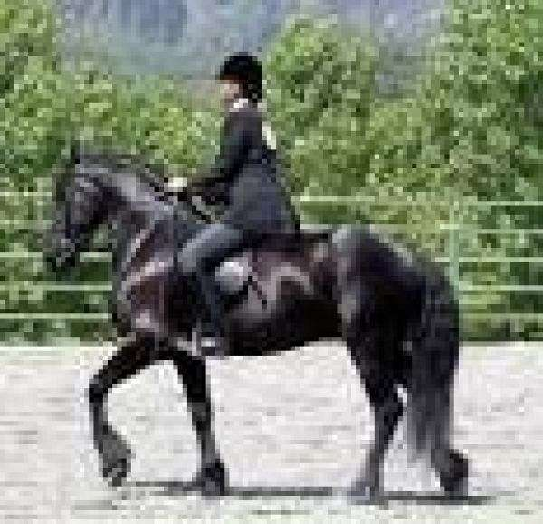 ajaja Friesian horse for sale and for good home on EquineNow