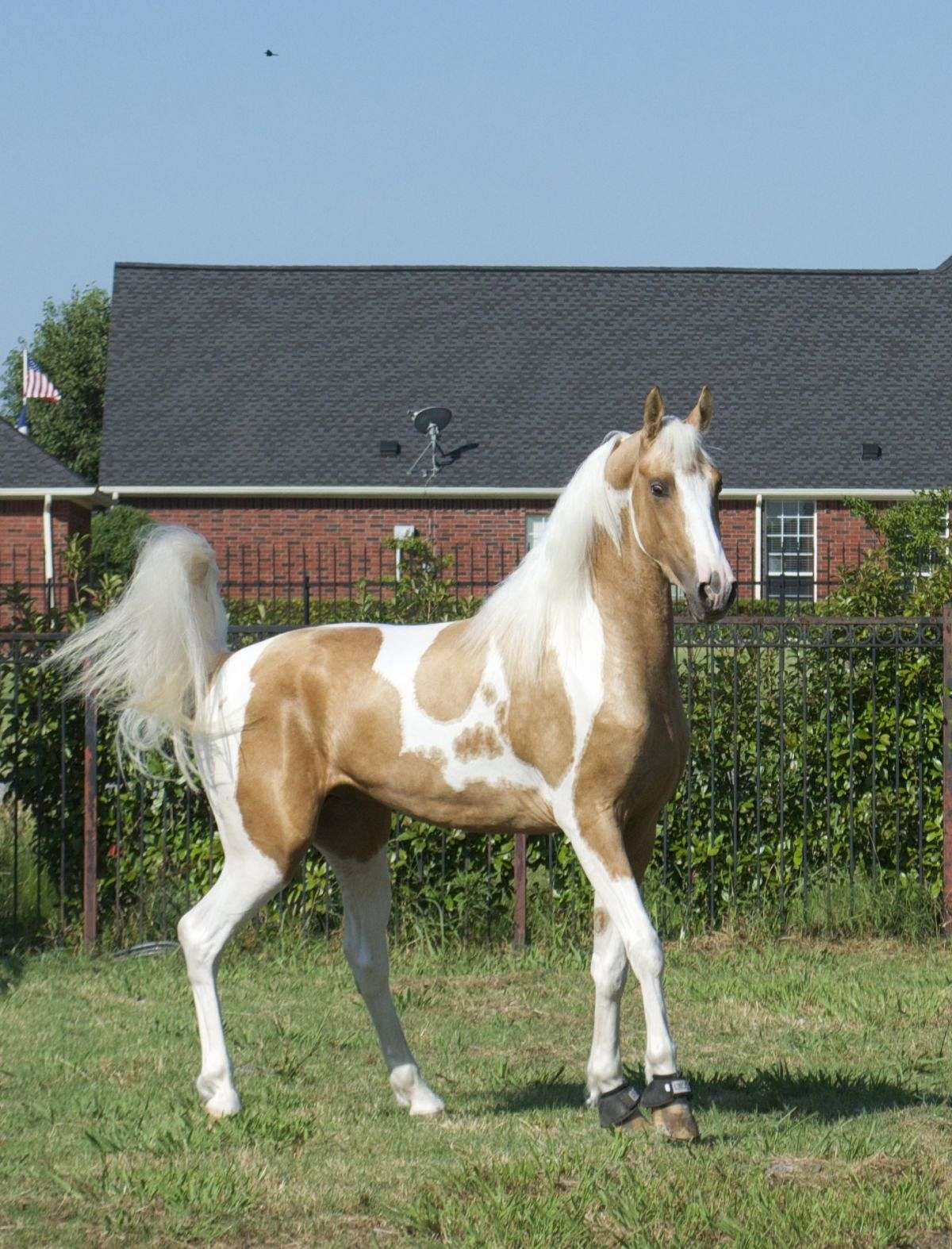 Mrf Sunsation Gorgeous Palomino Homozygous Pinto Asha Great Arab Cross