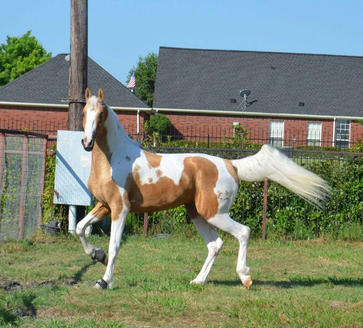 To acquire Saddlebred American pinto pictures pictures trends