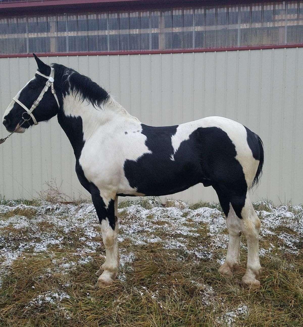 Reg Nadsha Black Aand White Stallion 18 1 Hands