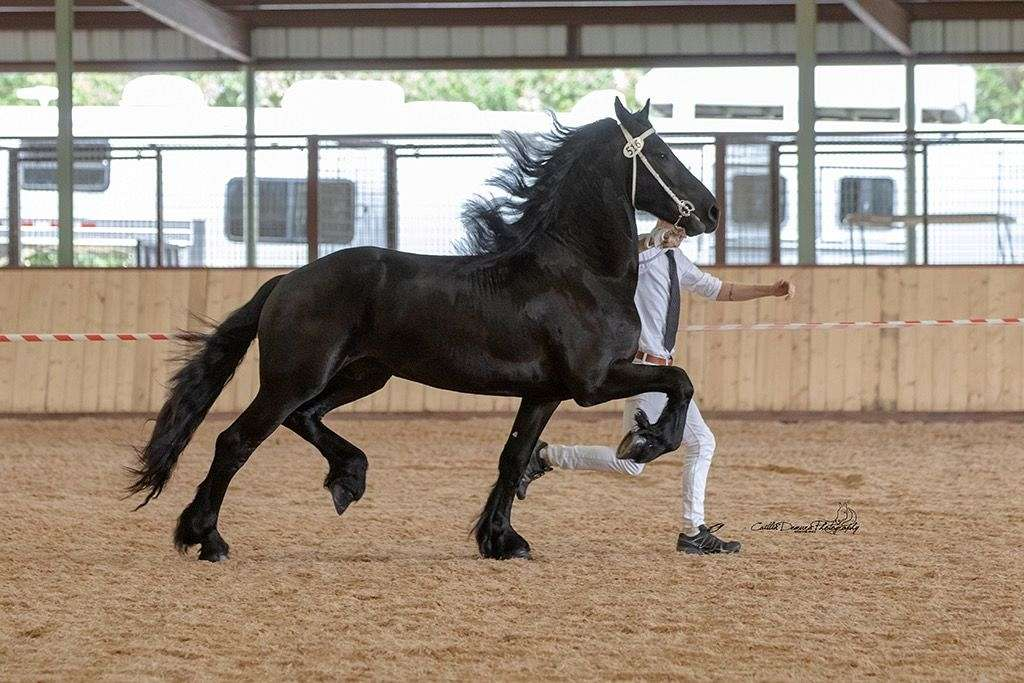 Imported Friesian At Stud By Epke 474
